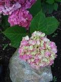 八仙花属,叶子,岩石 库存图片