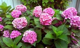 八仙花属紫红色 库存照片