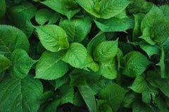 八仙花属绿色叶子与雨珠的 顶视图在庭院里 平的位置 背景蓝色云彩调遣草绿色本质天空空白小束 免版税库存图片