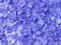 八仙花属紫色 库存照片