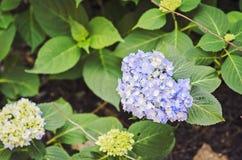 八仙花属 库存照片