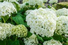 八仙花属arborescens Annabelle白色球夏天花 库存图片
