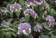 八仙花属Aspera 图库摄影