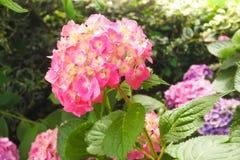 八仙花属macrophylla或霍滕西亚美丽的桃红色花  库存图片