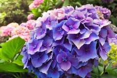 八仙花属macrophylla或霍滕西亚美丽的紫色花在庭院里 免版税库存照片