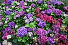 八仙花属macrophylla (Thunb )Ser.) 花在庭院里 免版税库存图片