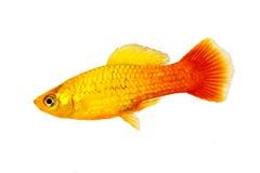 公万寿菊新月鱼或日落新月鱼Xiphophorus maculatus热带水族馆鱼 免版税库存图片
