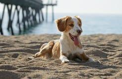 公不列塔尼的狗 免版税图库摄影