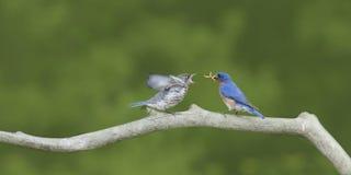 公东部蓝鸫哺养的哆哆的雏鸟 库存图片