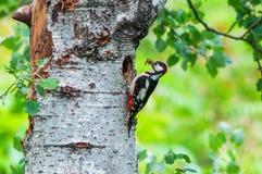 公伟大的被察觉的啄木鸟用在它的巢前面的食物 免版税图库摄影