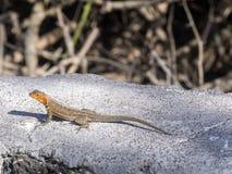 公加拉帕戈斯熔岩蜥蜴, Microlophus albemarlensis,是地方性的到加拉帕戈斯群岛 圣克鲁斯,加拉帕戈斯,厄瓜多尔 免版税库存图片