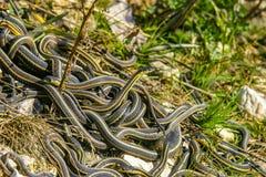 公加拿大红支持的花纹蛇 免版税库存图片