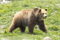 公北美灰熊 免版税图库摄影