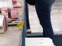 公北美黄色林莺, Dendroica petechia,寻找在一个鱼市上的食物在圣克鲁斯,背景金枪鱼肉的 加拉帕戈斯我 免版税库存图片