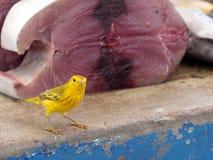公北美黄色林莺, Dendroica petechia,寻找在一个鱼市上的食物在圣克鲁斯,背景金枪鱼肉的 加拉帕戈斯我 免版税库存照片