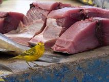 公北美黄色林莺, Dendroica petechia,寻找在一个鱼市上的食物在圣克鲁斯,背景金枪鱼肉的 加拉帕戈斯我 图库摄影