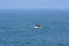 公南部的脊美鲸,赫曼努斯,南非 库存图片