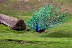 公印度孔雀蓝色孔雀或孔雀座cristatus与他五颜六色在他的隐蔽羽毛 图库摄影