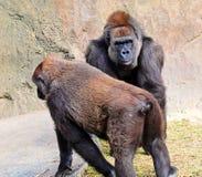 公和母低地大猩猩 免版税库存图片