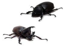 公和母犀牛甲虫 免版税图库摄影