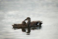 公和母野鸭鸭子 图库摄影