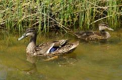 公和母野鸭鸭子 免版税库存图片