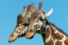 公和母长颈鹿 库存图片