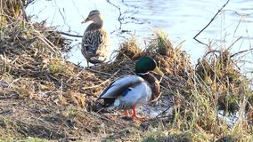 公和母鸭子野鸭在岸的冬天 影视素材