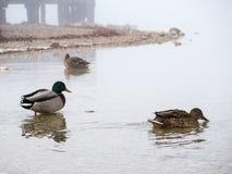 公和母鸭子 免版税库存图片