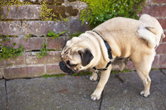 公哈巴狗狗在墙壁上小便 库存图片