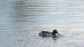 公哺养在池塘/湖- 4k的野鸭野鸭 影视素材