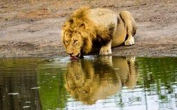公喝在waterhole的狮子和反射 库存图片