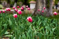 公园有开花的郁金香白色和红色,有一点弯曲在春天风 库存照片