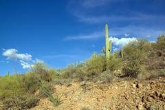 公园柱仙人掌,在图森附近在亚利桑那-美国 免版税图库摄影