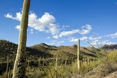 公园柱仙人掌,在图森附近在亚利桑那-美国 免版税库存图片