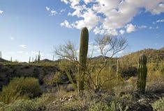 公园柱仙人掌,在图森附近在亚利桑那-美国 免版税库存照片