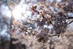 公园树开花在春天 图库摄影