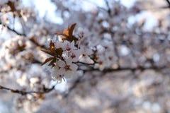 公园树开花在春天 免版税库存图片