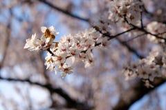 公园树开花在春天 库存图片