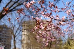 公园树开花在春天 免版税库存照片