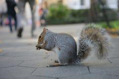 公园灰鼠 免版税图库摄影