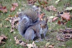 公园灰鼠 免版税库存图片