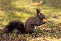从公园的逗人喜爱的灰鼠 免版税库存图片