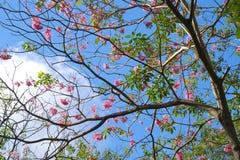 公园着陆一棵大和美丽的桃红色开花的泰国树的`视图和在它上的蓝天 图库摄影