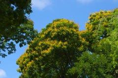 公园着陆一棵大和美丽的黄色开花的泰国树的`视图和在它上的蓝天 图库摄影