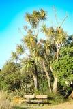 公园长椅为在一棵高当地新西兰圆白菜树下的公开使用 免版税库存照片