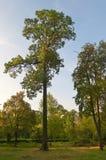 公园高大的树木 库存照片