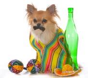 公墨西哥长的外套奇瓦瓦狗 库存照片
