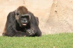 公大猩猩大猩猩,在草的唯一哺乳动物 库存照片
