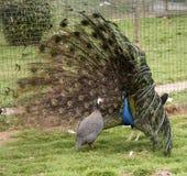 公孔雀向他的伙伴求爱以催眠状态 免版税库存照片